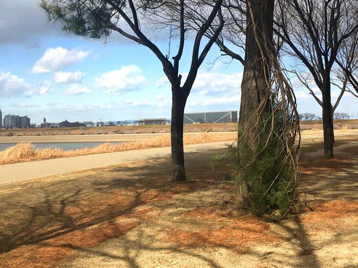 松の木、風で折れてるポン