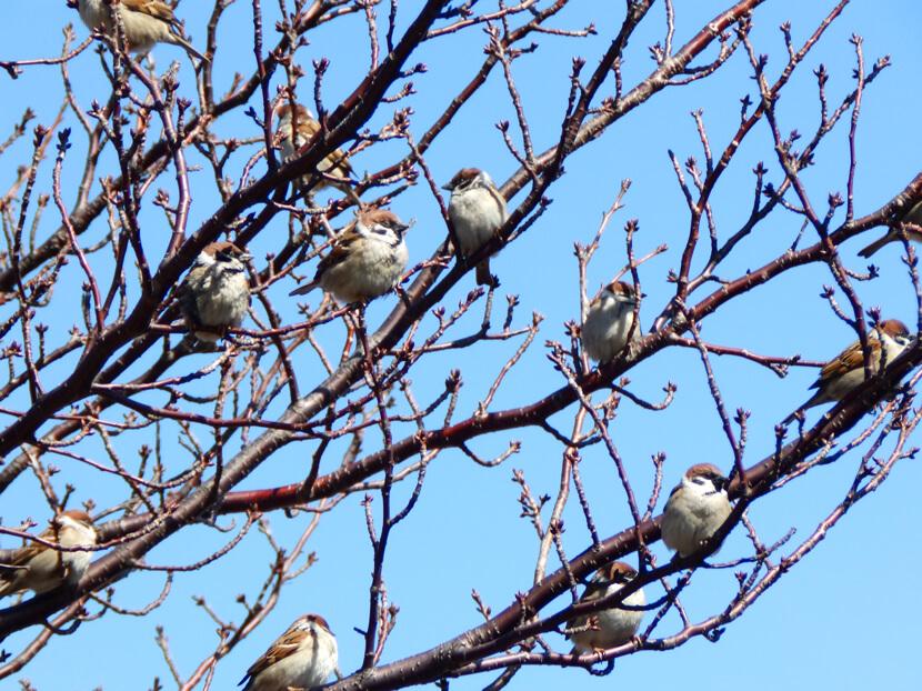 桜の木に、スズメいっぱいだポン☆