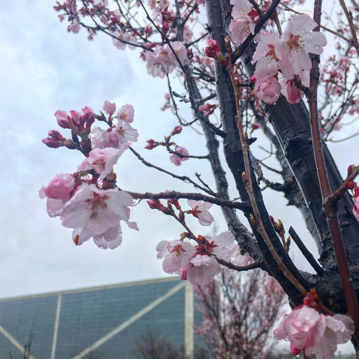 桜と狭山池博物館