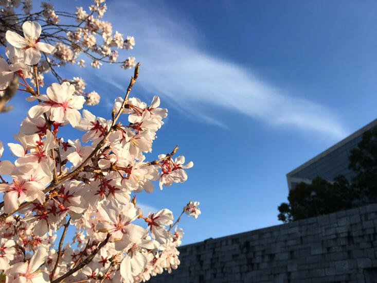 桜、キレイだポーン☆