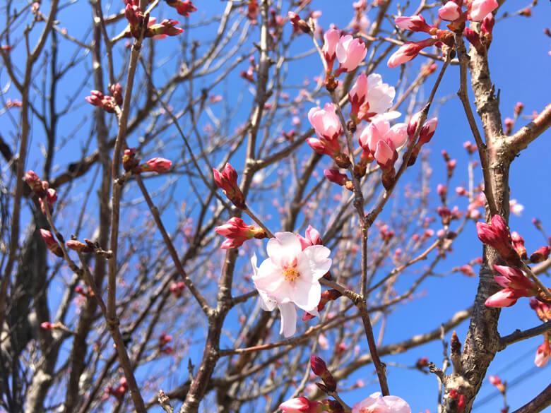 桜さいてるポーン☆