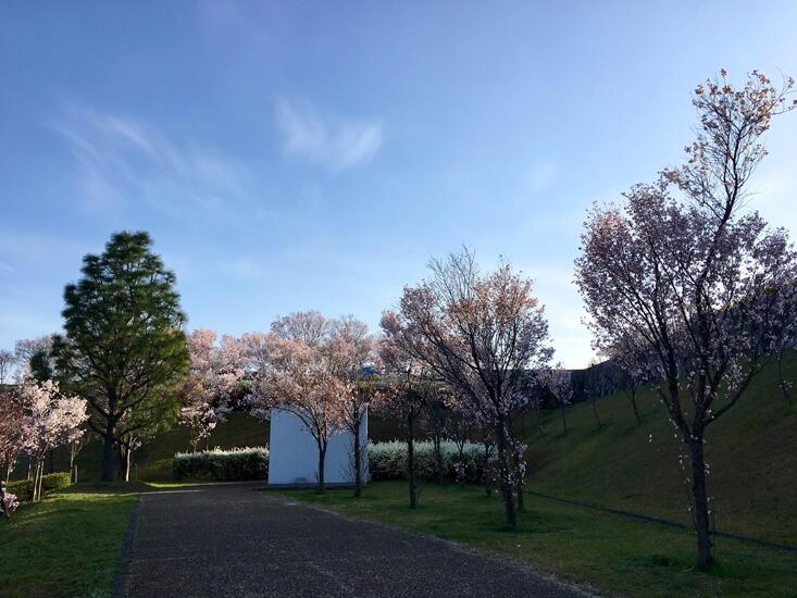 博物館の裏の桜、満開だポンよ〜☆