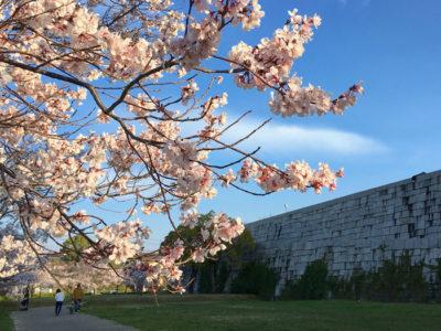 博物館石垣と桜