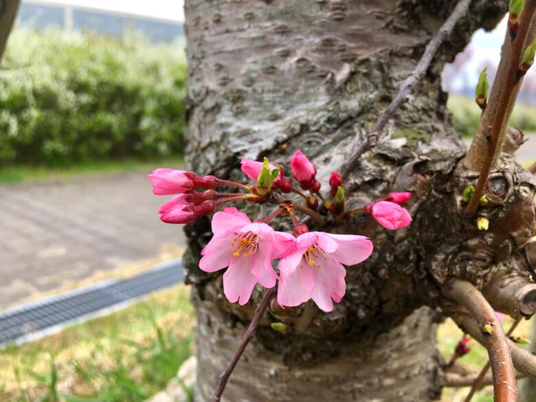 コシノヒガンの桜がポン☆