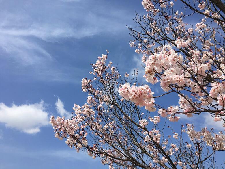 桜、キレイだポン〜♪ 満開 楽しみポーン♡