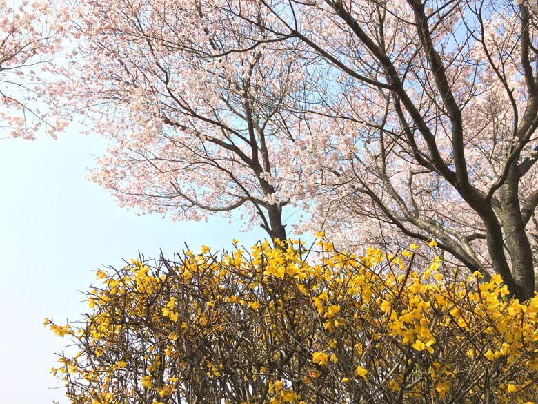 レンギョウと桜、キレイだポン☆