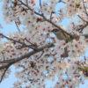 桜とスズメ