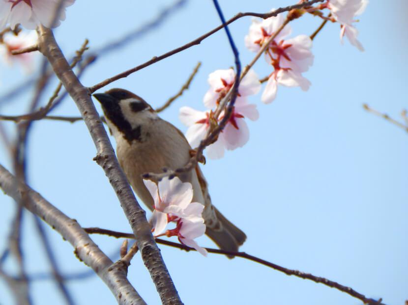 桜とスズメがポン☆