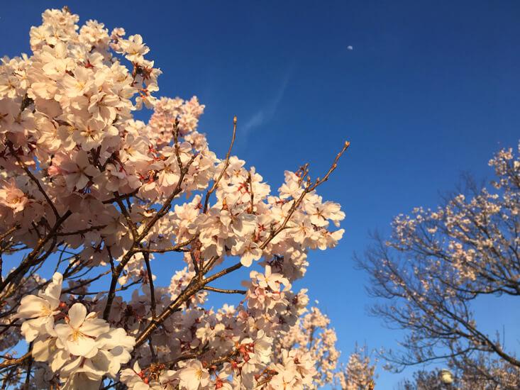 桜と月がポンポン☆