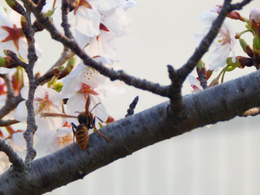 桜とハチがポン☆