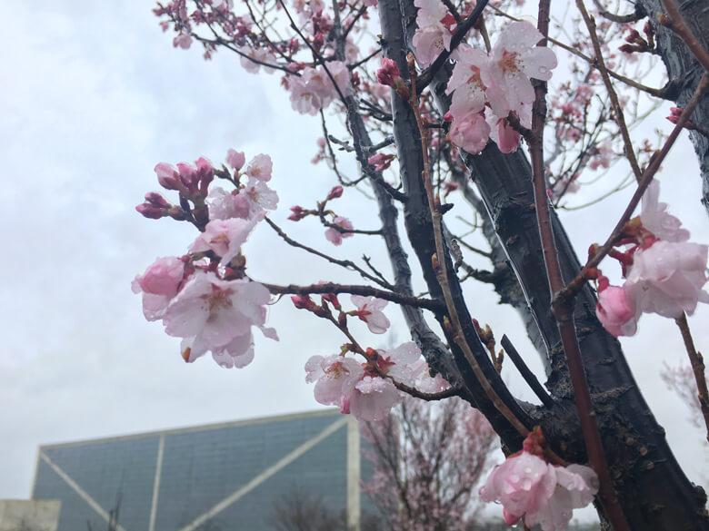 雨にぬれた桜、キレイだポ〜ン☆