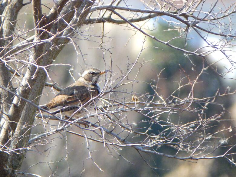 木の枝に、ツグミ見っけだポーン☆