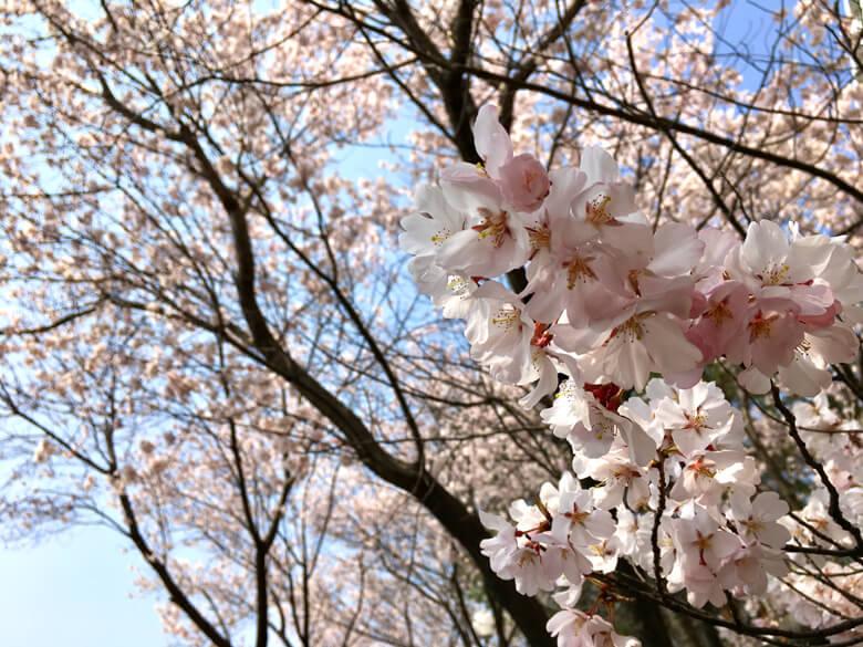 さやポンも桜、とるポ〜ン♪