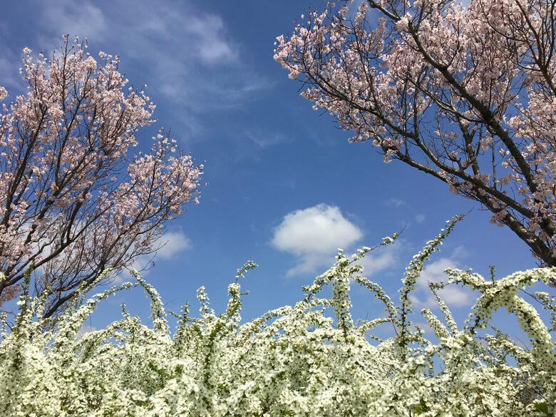 桜とユキヤナギ、キレイだポ~ン☆