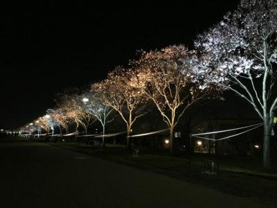 狭山池の夜桜ライトアップ