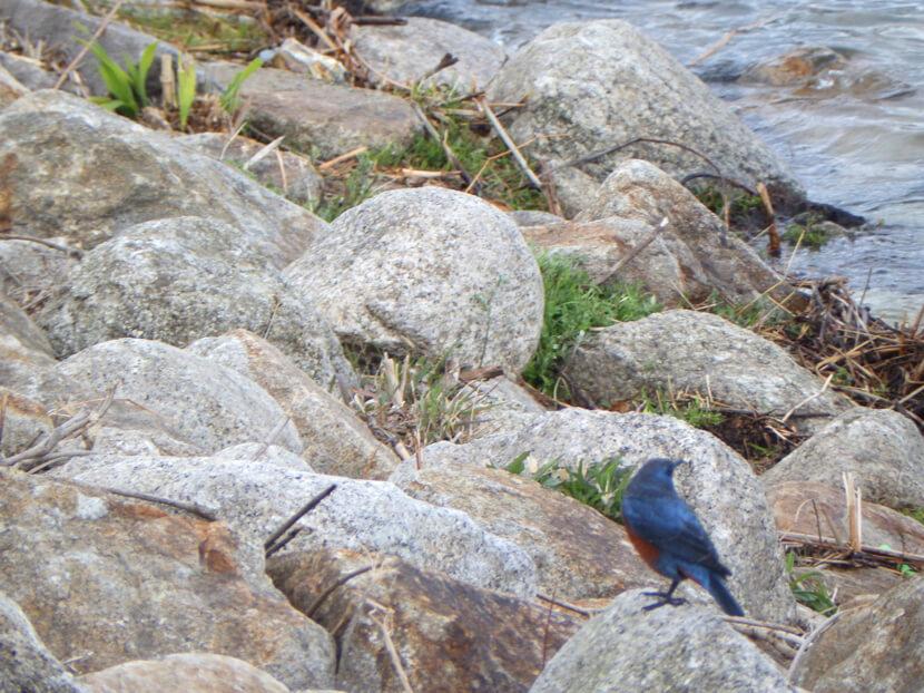 青い鳥、見っけだポン☆
