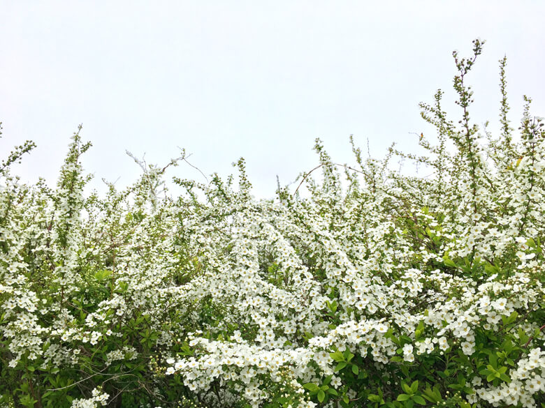 ユキヤナギ♪いっぱい咲いてるポンよ☆