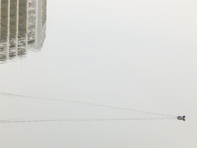 カモ、1羽でスイスイ♪だポ~ン☆