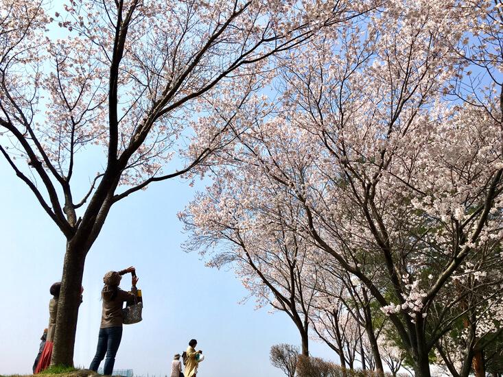 みんな♪キレイな桜、とってるポンよ〜☆