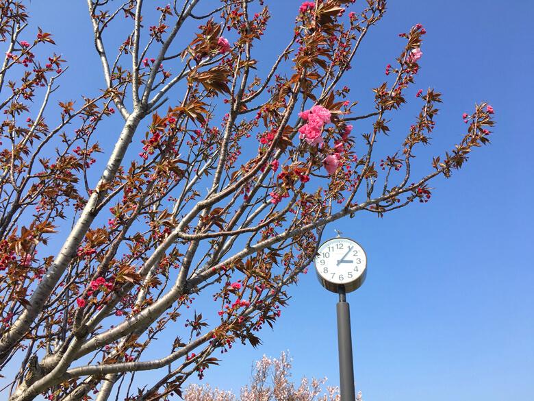 時計の近くに2本♪花びら ふわふわの桜かわいいポ〜ン♡