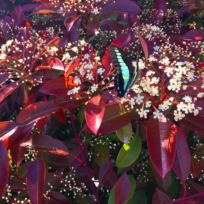 レッドロビンの花に、アオスジアゲハ