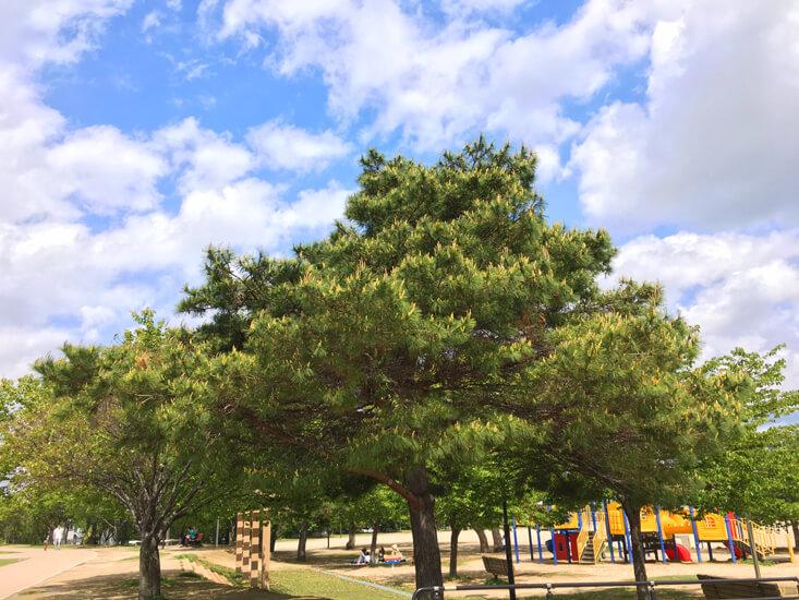 松の木、新芽ニョキニョキだポン☆