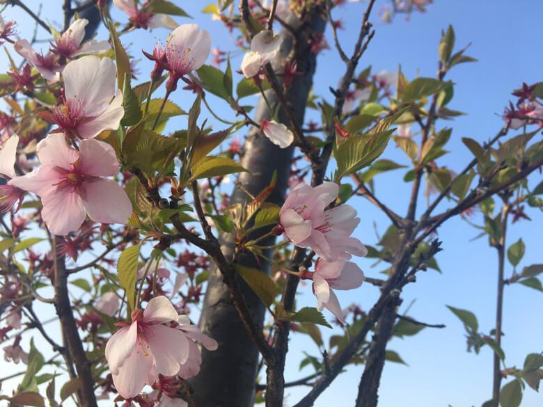 桜と葉っぱ☆ キレイだポ〜ン♪