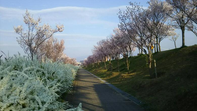 桜を見ながら狭山池を散歩するのが好きです