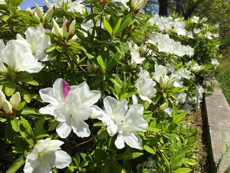 白いツツジの中に1つ♪ピンクの花びら見っけだポーン☆
