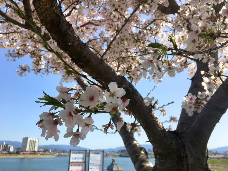 桜キレイだポ〜ン☆