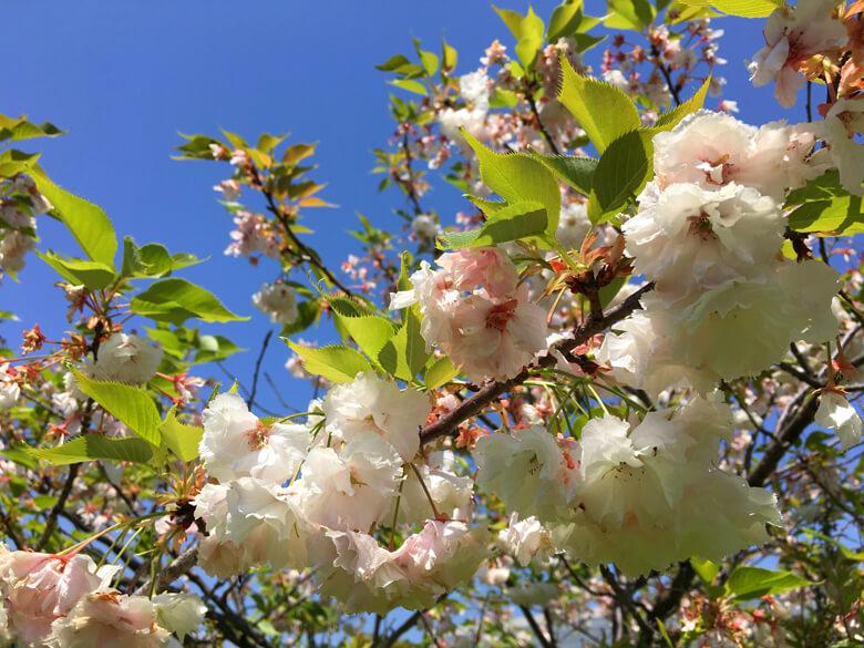 八重桜、まだキレイに咲いてるポン☆