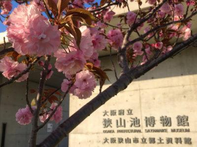 博物館前の八重桜