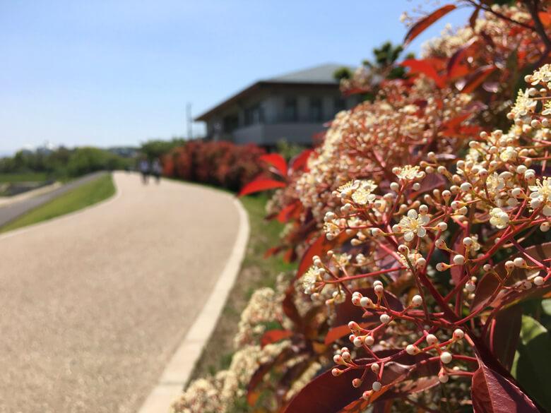 北堤の駐車場の横☆ レッドロビンの花さいてるポーン♪