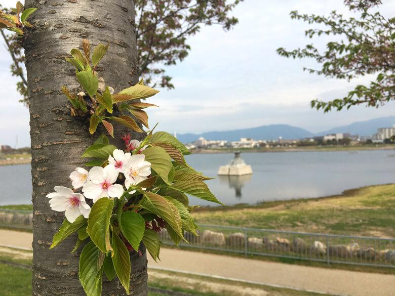 こっちの桜もキレイだポーン☆