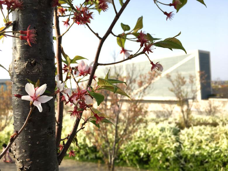 まだまだキレイに咲いてる桜もあるポンよ〜♡