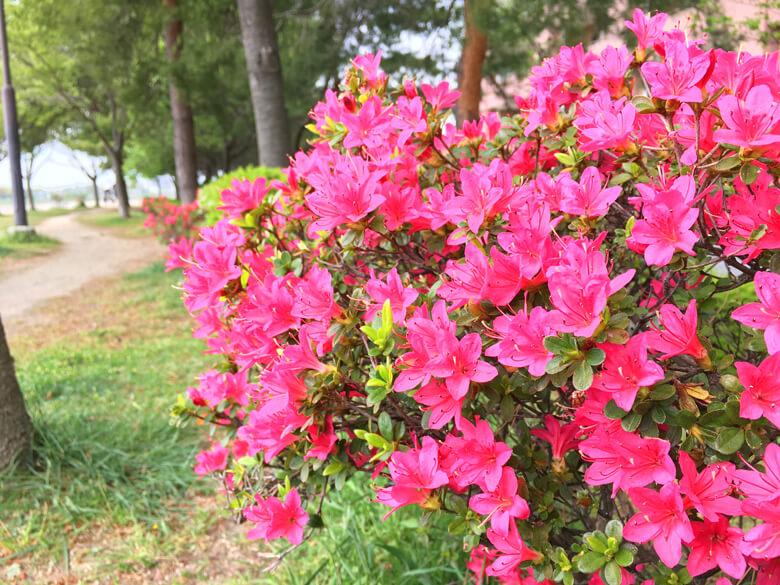 ツツジもキレイだポーン♡ さっきのツツジの花より小さいポン☆