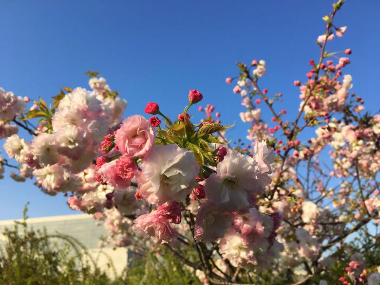 うすピンクの桜もキレイだポンよ~♪
