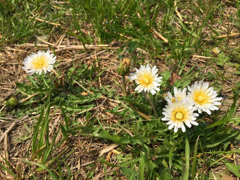 白いタンポポも、元気いっぱい咲いてるポンよ〜☆