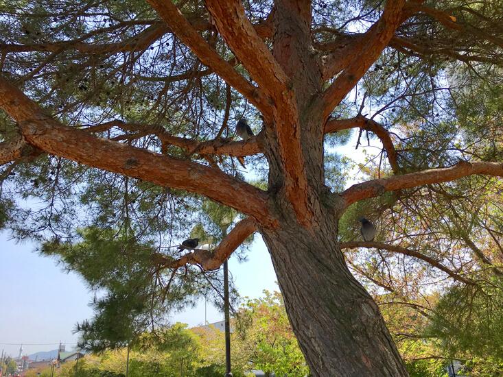 松の木に、ハトがまったりポン☆
