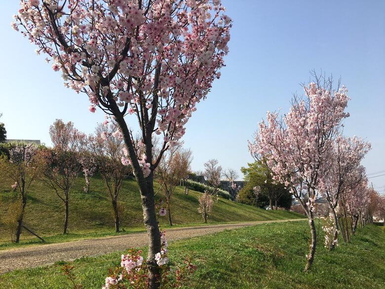 博物館近くの桜もポン☆