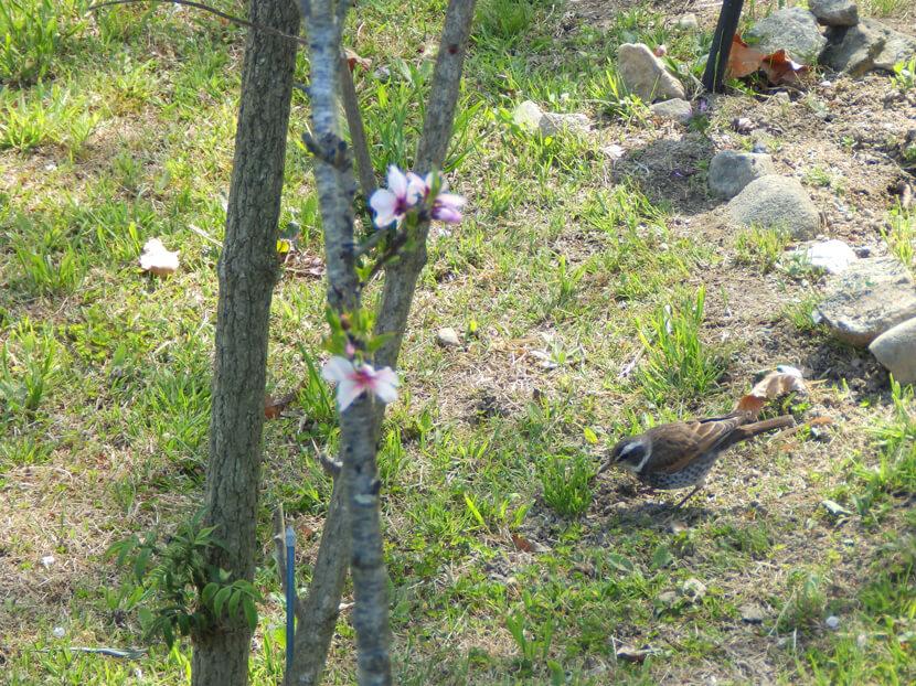 桜とツグミがポン☆