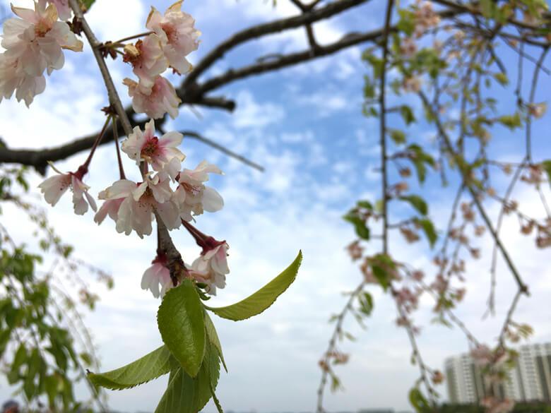 桜、まだまだキレイに咲いてるポーン☆
