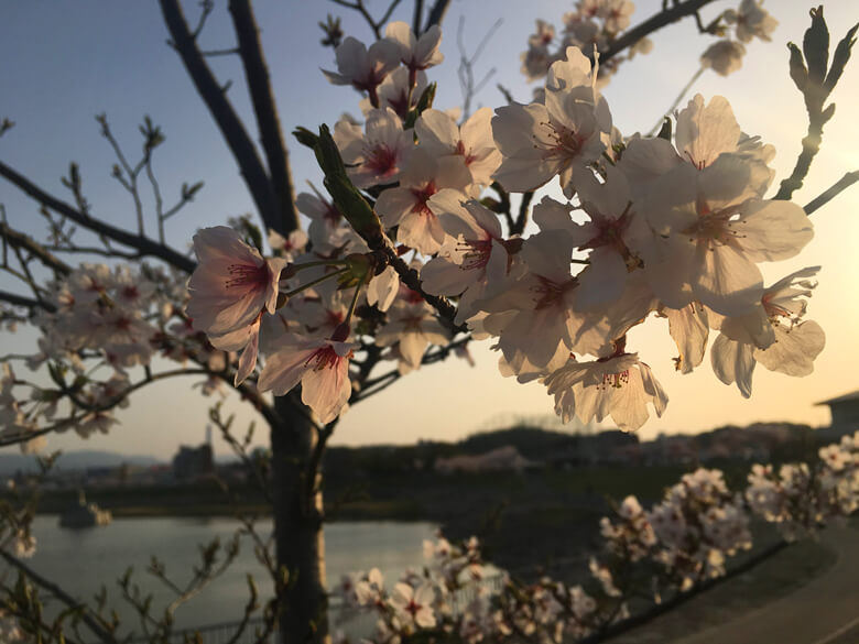 夕日がピカーン☆ 桜、キレイだポン♪