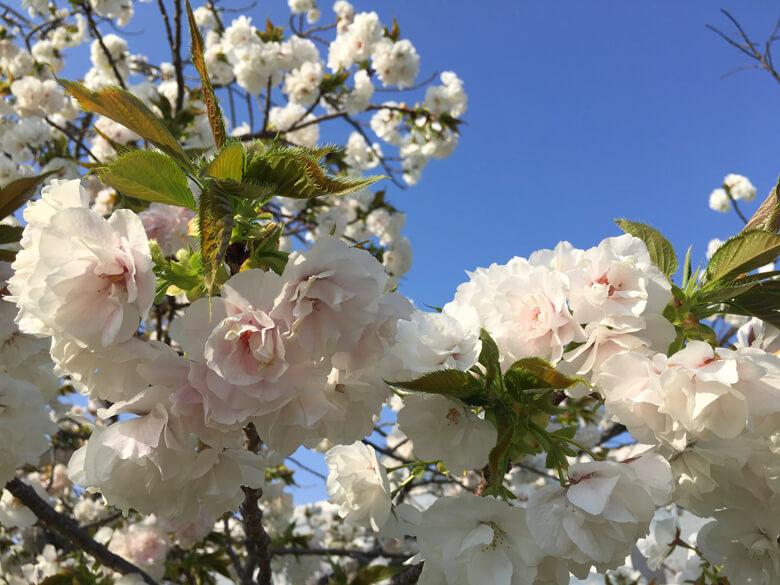 桜、満開キレイだポンよ〜♡