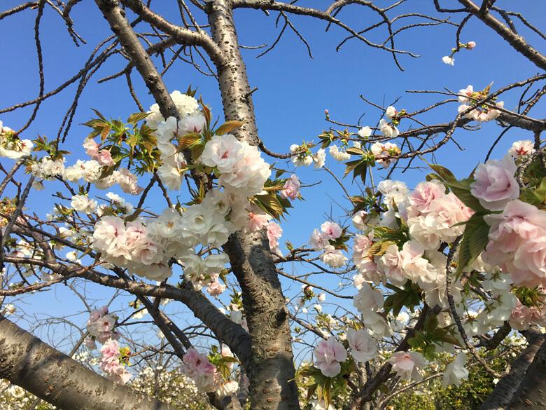 どの桜もキレイだポンよ〜☆