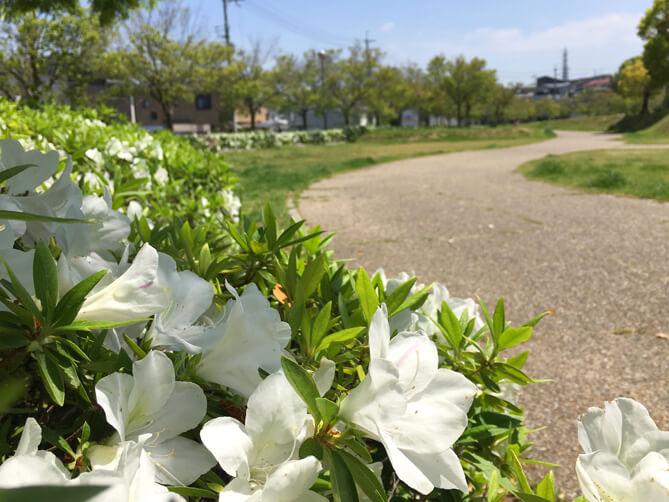 博物館のまわり、白いツツジいっぱい咲いてきてるポーン♡