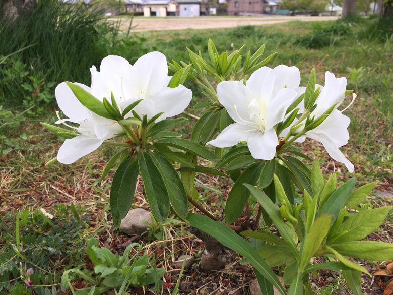 白いツツジ♪ちっさくキレイに咲いてるポーン☆