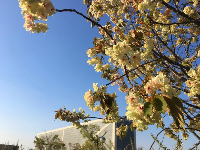 博物館のまわりの桜、キレイだポーン☆