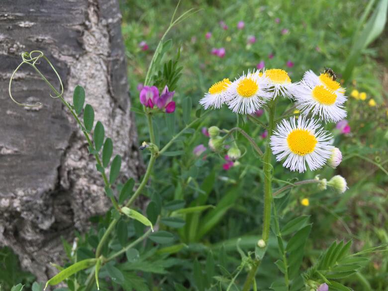 ツツジの近くでいっぱい咲いてるポーン☆