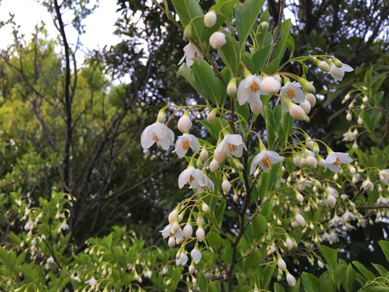 エゴノキに白い花がポン☆